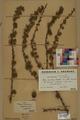 Neuchâtel Herbarium - Larix decidua - NEU000003680.tif