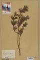 Neuchâtel Herbarium - Pinus sylvestris - NEU000003780.tif