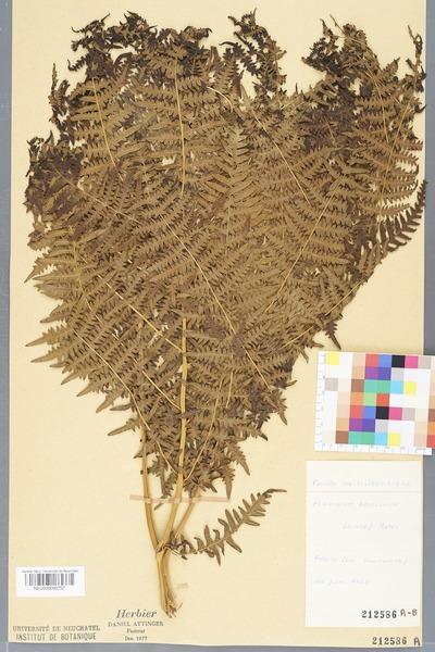 File:Neuchâtel Herbarium - Pteridium aquilinum - NEU000000757.tiff