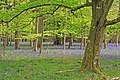 New follage and Bluebells, Chase Wood - geograph.org.uk - 408939.jpg