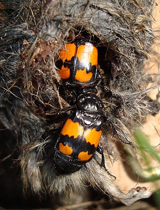 Silphidae - Nicrophorus vespilloides colonizing a dead rodent.