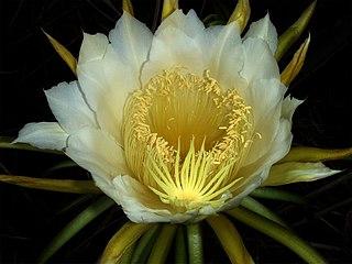 Night-blooming cereus Wikimedia disambiguation page