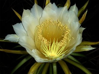 Night-blooming cereus - Hylocereus undatus