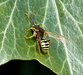 Nomada goodeniana Gooden's Nomad Bee (34010272565).jpg
