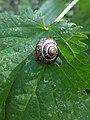 Noordwijk - Heesterslak (Arianta arbustorum) v3.jpg