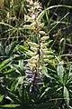 Noordwijk - Vaste lupine (Lupinus polyphyllus) v2.jpg
