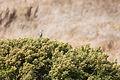 Northern Mockingbird (23367648052).jpg