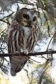 Northern Saw-whet Owl (31089617164).jpg