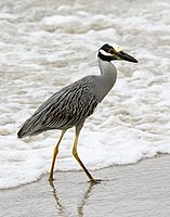 Nycticorax violaceus (at beach).jpg