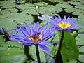 Nymphaea capensis 04.JPG