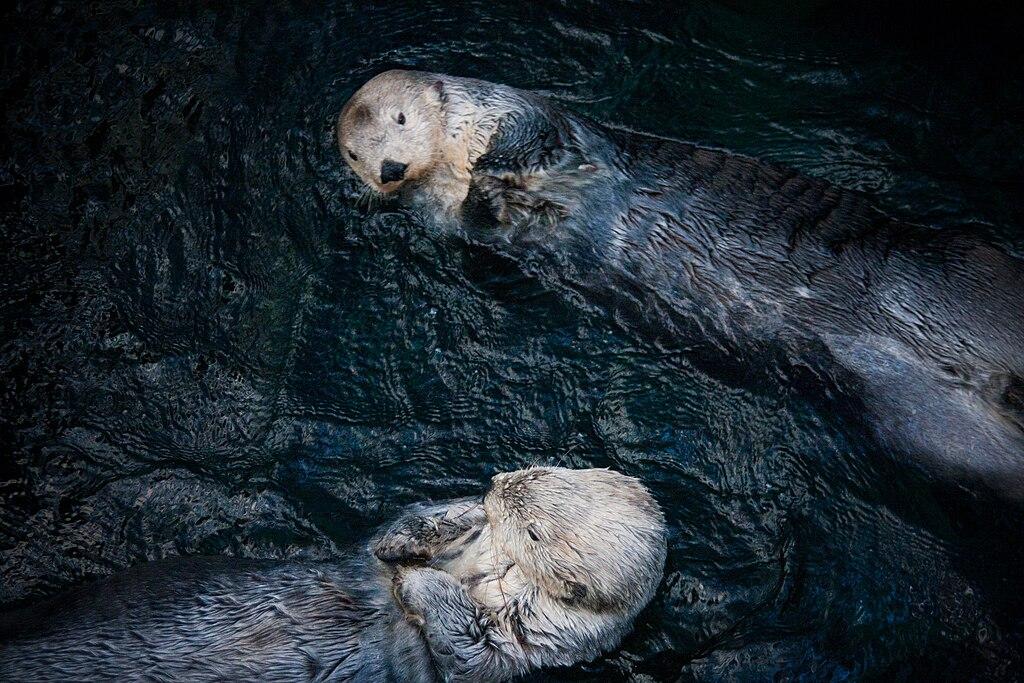 > Superbes loutres de mer dans l'aquarium de Lisbonne. Photo de Flavio Ensiki