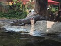 Ocean Park Chinese alligator.jpg
