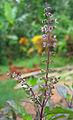 Ocimum tenuiflorum flowers (1).jpg
