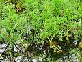 Oenanthe aquatica Pohreby.jpg
