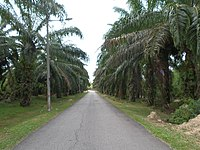 Oil Palm Plantations in Melaka.jpg