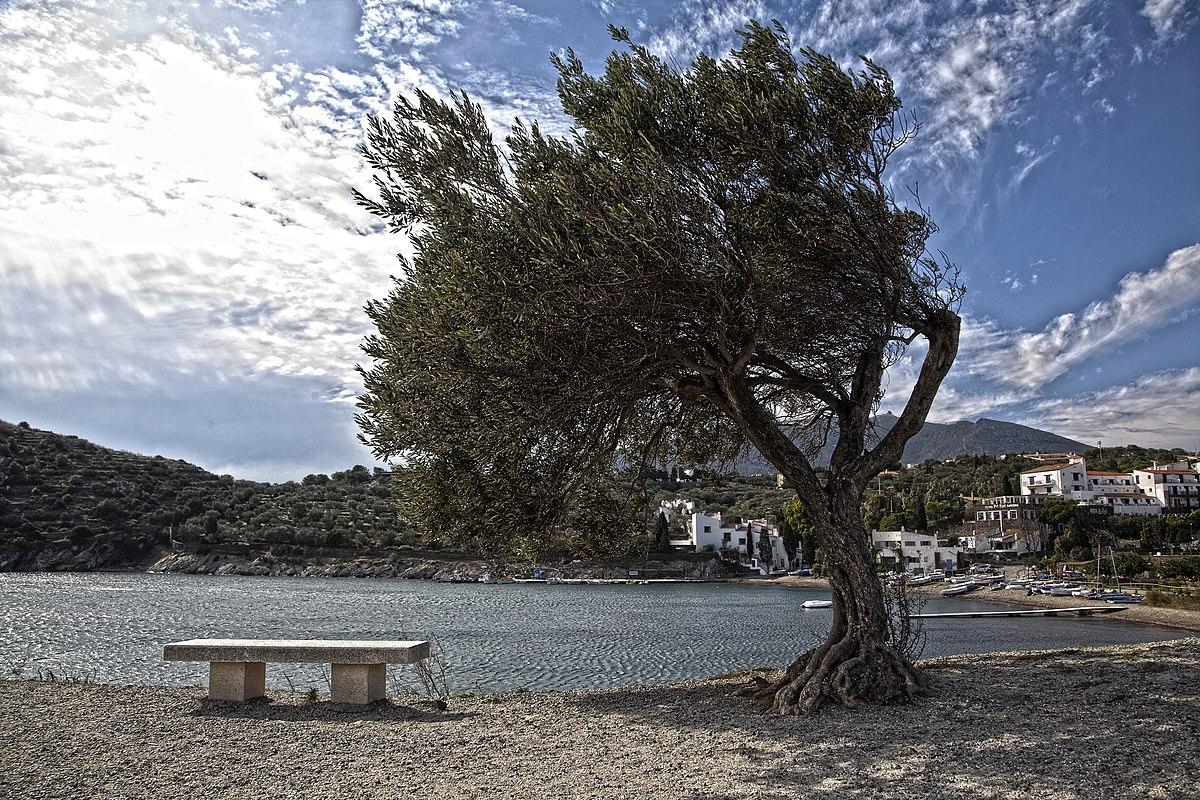 Olivo, en Port Lligat (Girona).
