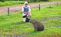One of these is the world's largest rodent - Flickr - PhillipC.jpg
