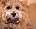 Onni Norfolk Terrier.jpg