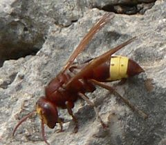 Oriental hornet - Wikipedia, the free encyclopedia