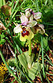 Ophrys tenthredinifera zingaro 052.jpg