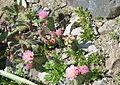 Opuntia aurea (7468782142).jpg