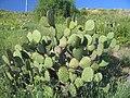 Opuntia oricola in habitat in California.jpg