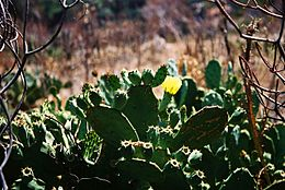 Opuntia stricta-Sicily-bjs-4