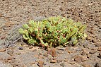Opuntia stricta - Fuerteventura.jpg