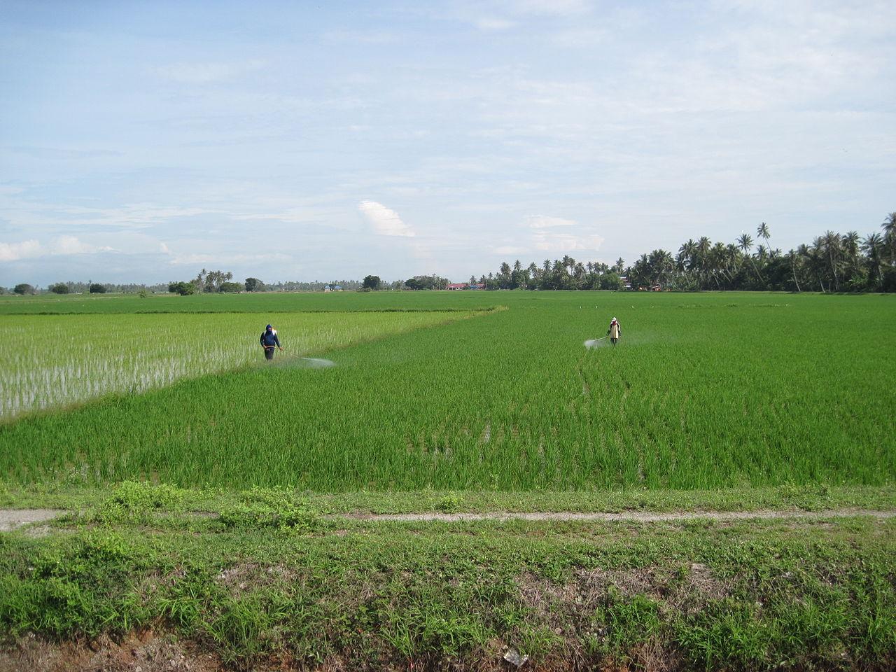 Orang kampung menyembur racun di padi.JPG