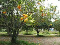 Orange-tree-1117420.jpg
