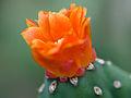 Orange cactus flower (14932628621).jpg