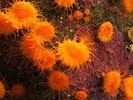 Orange cup coral (Balanophyllia elegans) 01.jpg