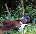 Orangutan 106.jpg