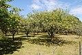 Orchard, Southfield Farm - geograph.org.uk - 1459738.jpg