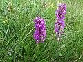 OrchidSaleve2.jpg