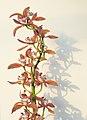 Orchidaceae hybrid Cymbidium Doris 1912.jpg
