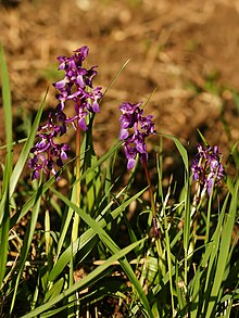 Orchis mascula (plants).jpg