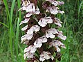 Orchis purpurea, Sićevačka klisura, Niš, Srbija.jpg