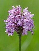 Orchis tridentata-Blueten-2.jpg
