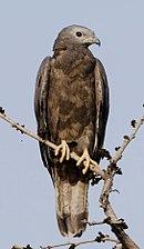 Oriental Honey-buzzard Pernis ptilorhyncus.jpg