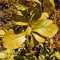 Orixa japonica.jpg