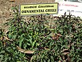Ornamental chilli from lalbagh 2307.JPG