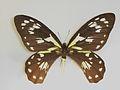 OrnithopteravictoriaereginaeSalvin1888Female.JPG