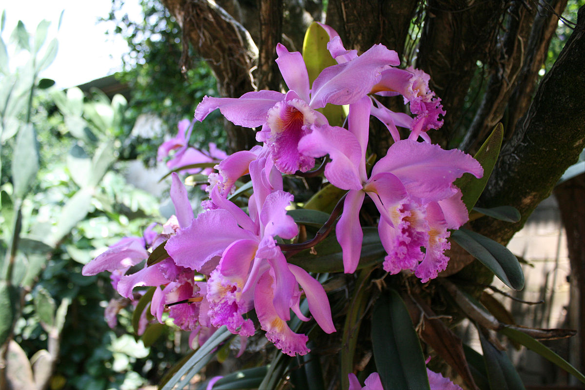 Flor Nacional de Venezuela - Wikipedia, la enciclopedia libre
