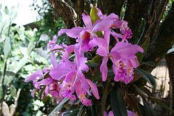 Image result for orquidea venezuela