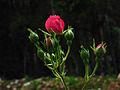 Os Botões da Rosa.jpg