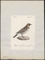 Otocoris alpestris - 1842-1848 - Print - Iconographia Zoologica - Special Collections University of Amsterdam - UBA01 IZ16100309.tif