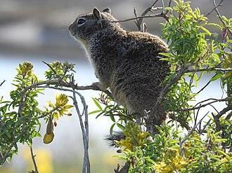 California ground squirrel - Image: Otospermophilus beecheyi