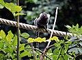 Ouistiti à toupets blancs (Zoo Amiens)1.JPG