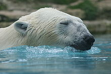 L'OURS BLANC 220px-Ours_Blanc2